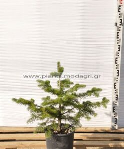 Abies normanniana 5lt