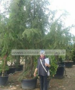 CEDRUS/DEODARA/MODAGRI/PLANTS