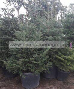ABIES/CEPHALONICA/MODAGRI/PLANTS