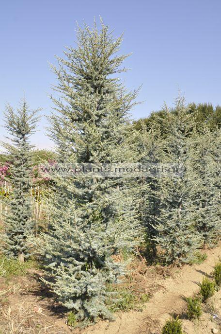 Cedrus atlantica glauca 3-4m rootball - Modagri Plants
