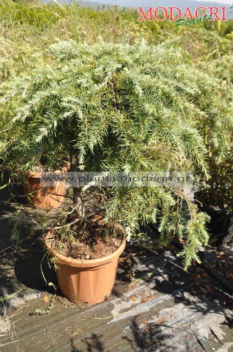 Cedrus deodara feelling blu 120cm 25lt- Modagri Plants
