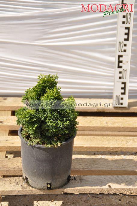 Chamaecyparis obtusa nana gracelis 3lt - Modagri Plants
