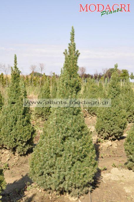 Picea glauca conica 80-100-120cm rootball - Modagri Plants