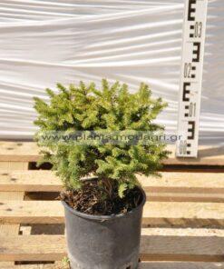 Picea nidiformis 3lt - Modagri Plants
