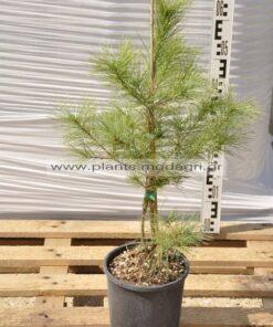 Pinus griffiti escelsa 4lt - Modagri Plants