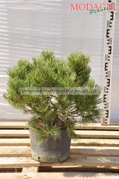 Pinus mugo 9lt - Modagri Plants