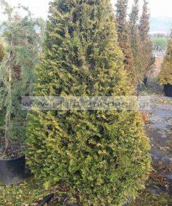 TAXUS/BACCATA/MODAGRI/PLANTS
