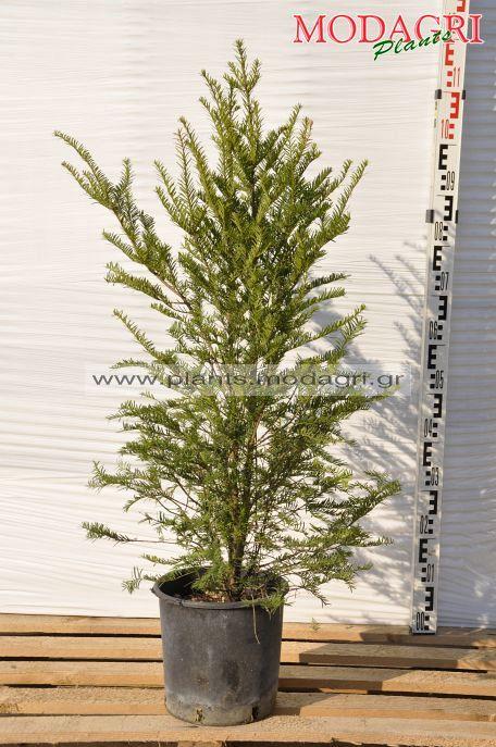 Taxus baccata 9lt