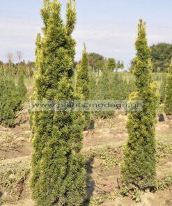 Taxus fastigiata aurea 80-100-120cm rootball - Modagri Plants