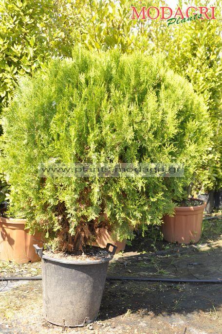 Thuja aurea nana compacta 35lt - Modagri Plants