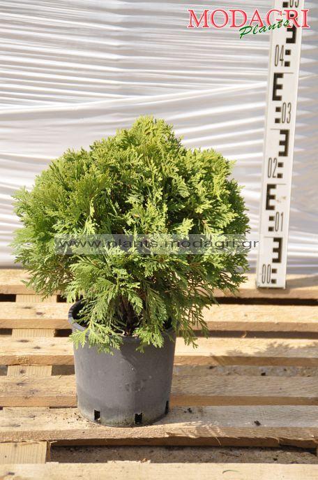 Thuja danica 3lt - Modagri Plants