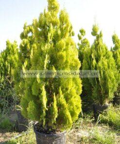 Thuja pyramidalis aurea - Modagri Plants