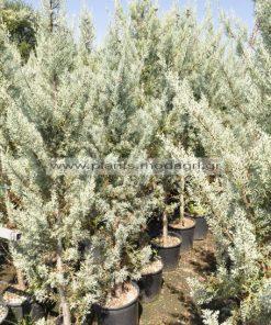 cupress arizonica 15lt 1,75-2m - Modagri Plants