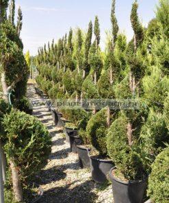 cupress leylandii spiral 1,75-2m - Modagri Plants