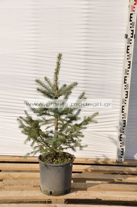 PICEA/PUNGENS/GLAUCA/MODAGRI/PLANTS