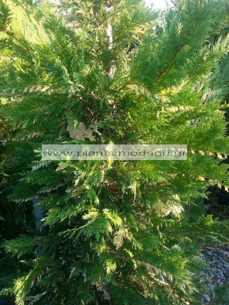 LEYLANDII/VARIEGATA/MODAGRI/PLANTS