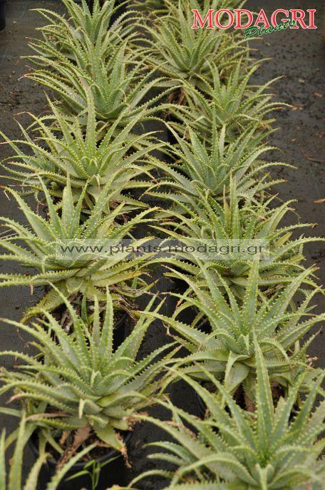 Aloe vera 3lt - Modagri Plants