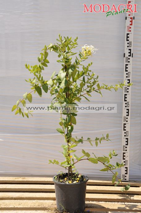 Lonicera japonica 3lt - Modagri Plants