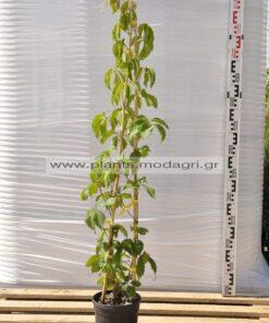 Parthenocissus 3lt Αμπελωψη - Modagri Plants