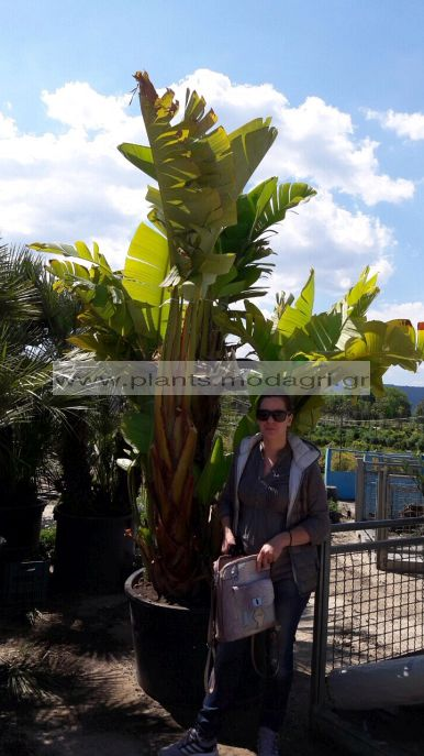 STRELIZIA/MODAGRI/PLANTS