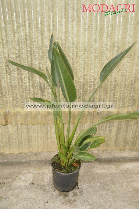 Strelizia reginae 5lt - Modagri Plants