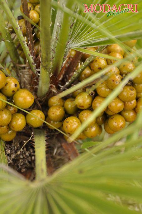 Chamaerops Excelsa - Modagri Plants