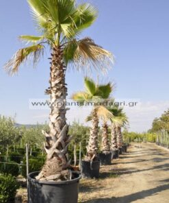 washingtonia - Modagri Plants