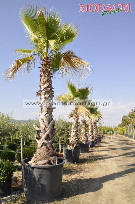 washingtonia - Modagri Plants