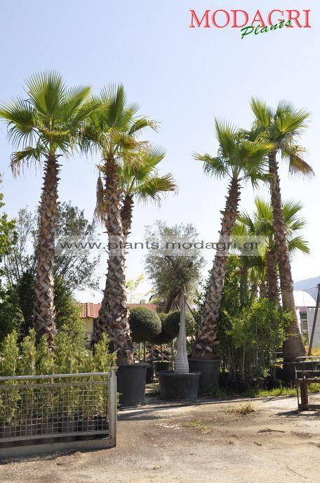washingtonia 4-5m - Modagri Plants