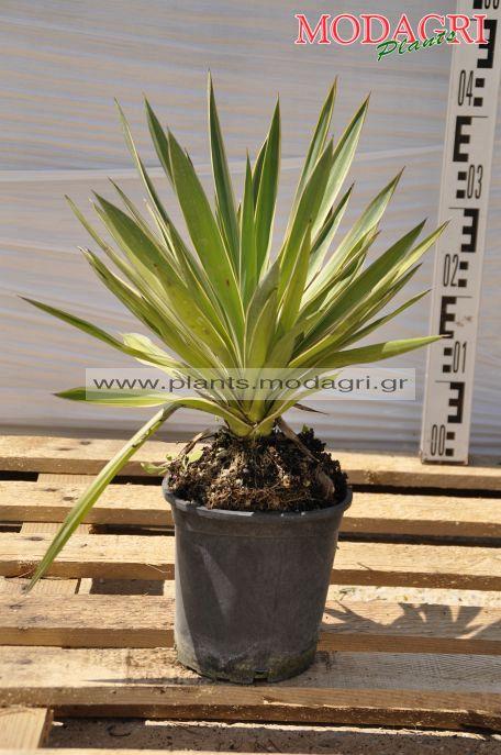 yucca gloriosa 3lt - modagri plants