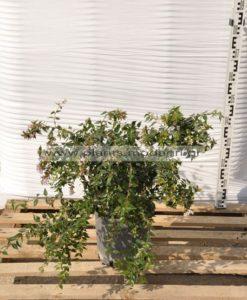 Φυτώριο Modagri Plants - Μόδι Θεσσαλονίκη - Abelia Edward Goucher 3lt