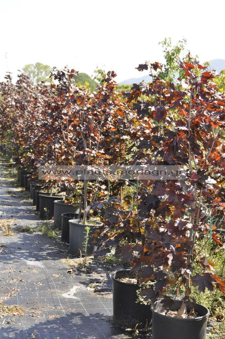 Acer crimson centry bush 1,50-1,75 25lt - Modagri Plants