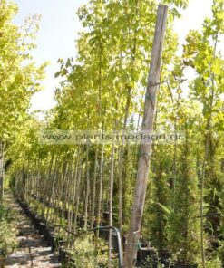 Acer negundo 8-10-12cm - Modagri Plants