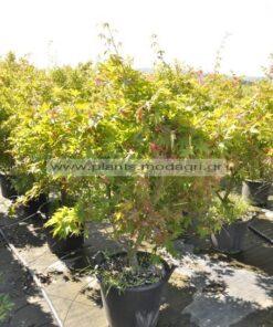 Acer palmatum 30lt 1,30-1,50cm - Modagri Plants