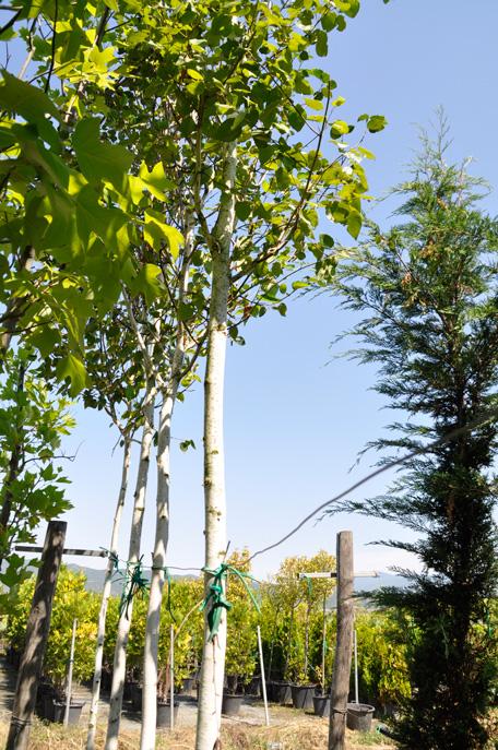 Betula pendula 14-16cm - Modagri Plants
