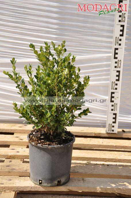 Buxus faulkner 3lt - Modagri Plants