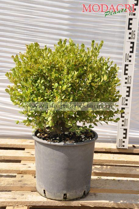 Buxus faulkner 7lt - Modagri Plants