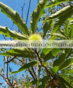 CASTANEA/SATIVA/MODAGRI/PLANTS