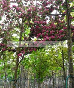 CRATAEGUS/MODAGRI/PLANTS