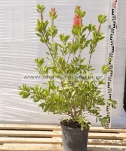 Callistemon 9lt - Modagri Plants