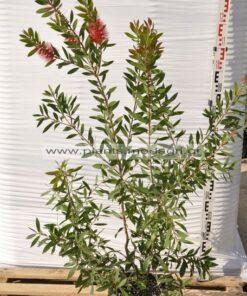 Callistemon laevis 9lt - Modagri Plants