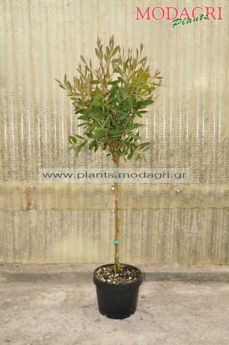 Callistemon mini tree 5lt - Modagri Plants
