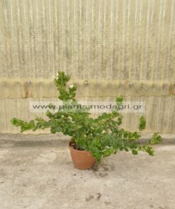 Carissa macrocarpa 3lt - Modagri Plants