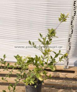 Chaenomeles japonica (τσιντόνια) 3lt - Modagri Plants