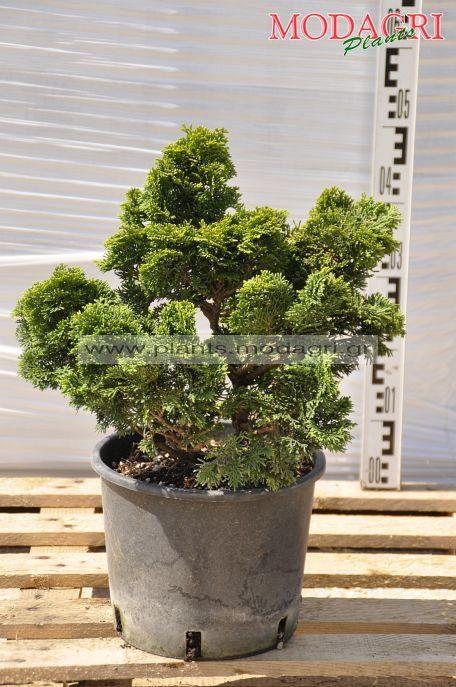 Chamaecyparis obtusa nana gracelis 7lt - Modagri Plants