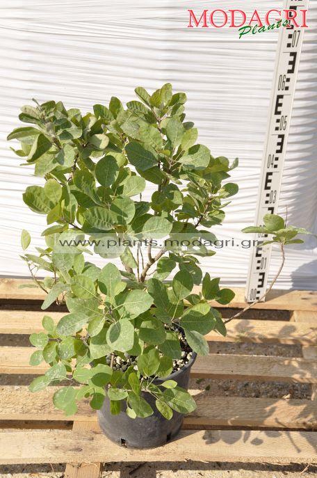 Cotinus coggygria 5lt - Modagri Plants