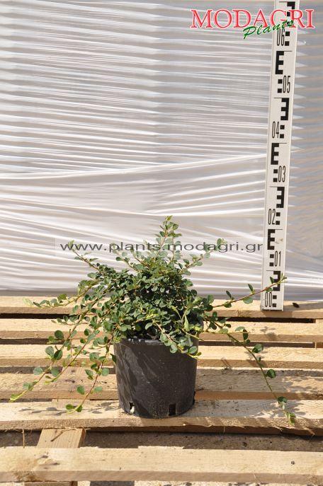 Cotoneaster dammeri 3lt - Modagri Plants