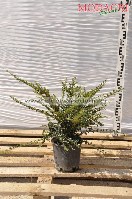 Cotoneaster horizontalis 3lt - Modagri Plants