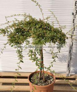 Cotoneaster salisifolius stem 9lt - Modagri Plants