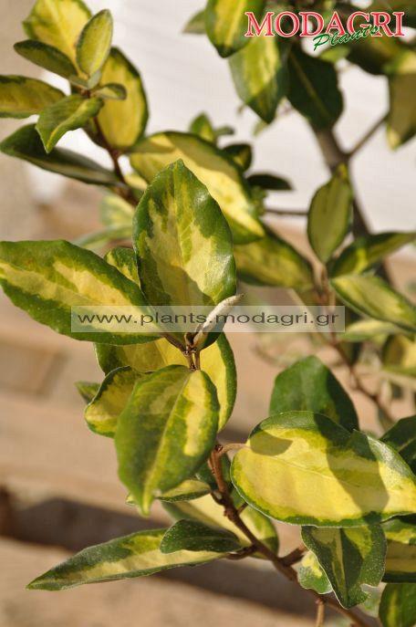 Elaeagnus limelight - Modagri Plants